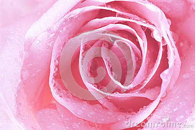 Close up of pink rose