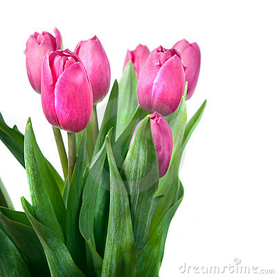 Close-up pink tulips