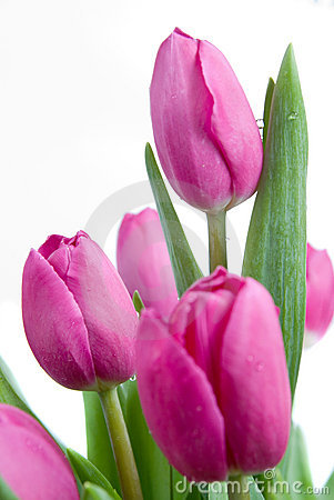 Free Close-up Pink Tulips Isolated Royalty Free Stock Photo - 13468965