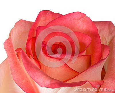 Close-up pink and white rose isolated