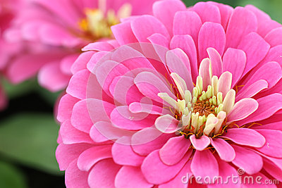 Close up pink zinnia