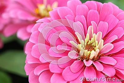 Close up pink zinnia
