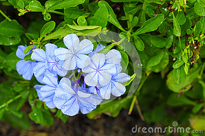 The close up of Plumbago auriculata Lam.