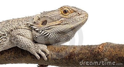Close-up of Pogona lying on a branch