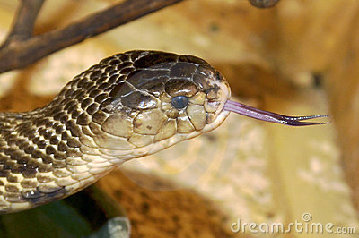 In close-up of poisonous snake