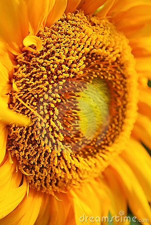 Free Close Up Pollen Vivid Sunflower Stock Images - 19833054