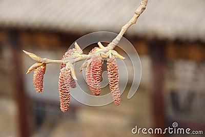 Poplar flower