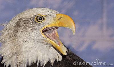 Close up portrait of American bald eagle squawking