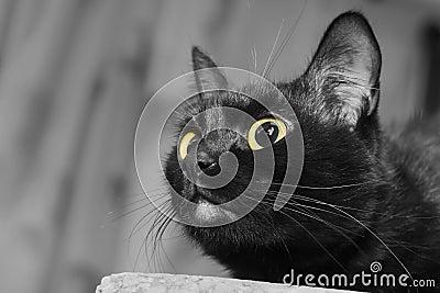 Close up portrait of a black cat