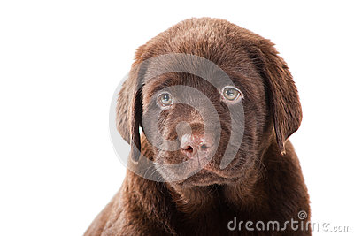 Close-up portrait of Chocolate Retriever puppy
