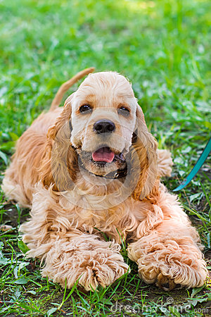 Close-up portrait of a  cute sporting  dog breed American Cocker
