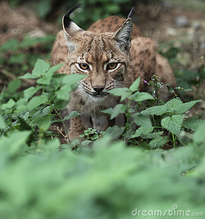 Close-up portrait of an Eurasian Lynx