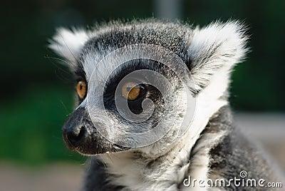 Close-up portrait of lemur catta