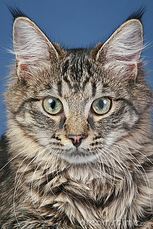 Close-up portrait of a Maine coon cat