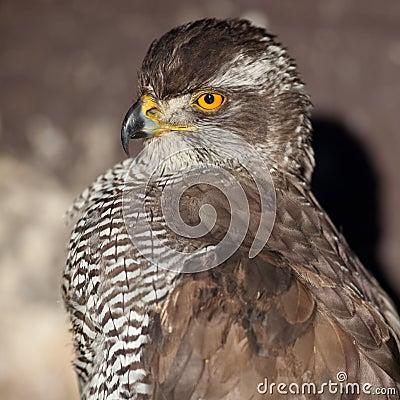 Close-up portrait of a majestic hawk