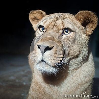 Close-up portrait of a majestic lioness