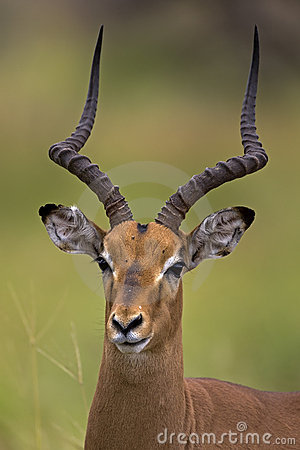 Close-up portrait of male Impala