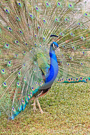 Close-up portrait of male peacock