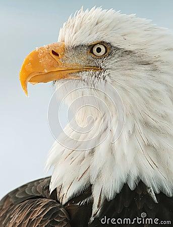 Free Close Up Portrait Of A Bald Eagle Stock Images - 23590704