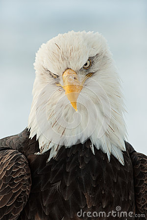 Free Close Up Portrait Of A Bald Eagle Royalty Free Stock Photography - 25988597