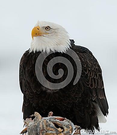 Free Close Up Portrait Of A Bald Eagle Stock Image - 36428291