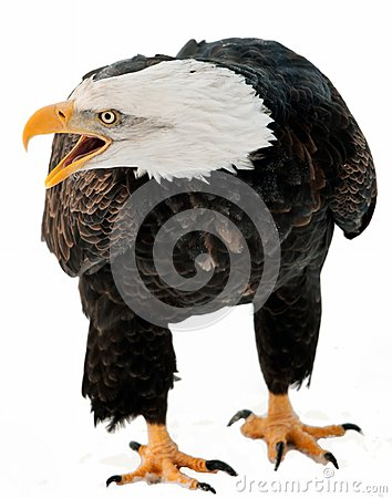 Free Close Up Portrait Of A Bald Eagle With An Open Beak . Stock Images - 36629464