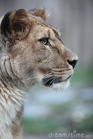 Free Close-up Portrait Of A Majestic Lioness Stock Photos - 12082343