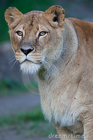 Free Close-up Portrait Of A Majestic Lioness Royalty Free Stock Photo - 16774475
