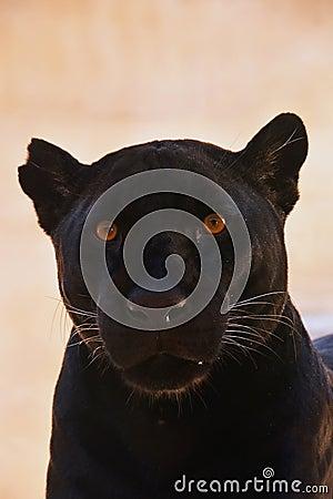 Free Close Up Portrait Of Black Jaguar; Panthera Onca Stock Image - 95754781