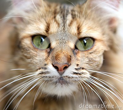 Free Close-up Portrait Of Green-eyed Cat. Royalty Free Stock Photos - 34120328