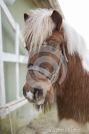 Free Close Up Portrait Of Shetland Pony With Blurred Background Stock Photography - 113518602