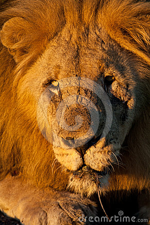 Close-up portrait of a wild male African Lion