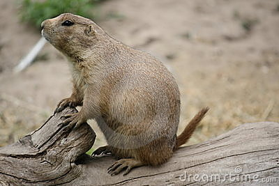 Close up of prarie dog