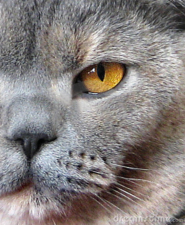 Close up profile of british shorthair cat
