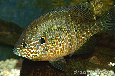 Close-up Pumpkinseed fish