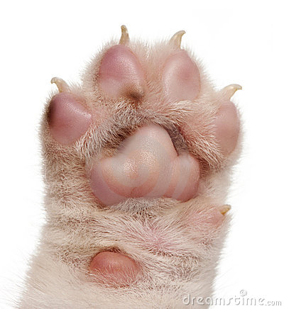 Close-up of puppy s paw, 4 weeks old