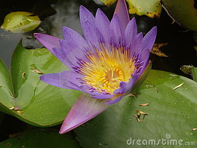 Close up of purple lotus