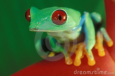 Close Up Of Red-Eyed Frog