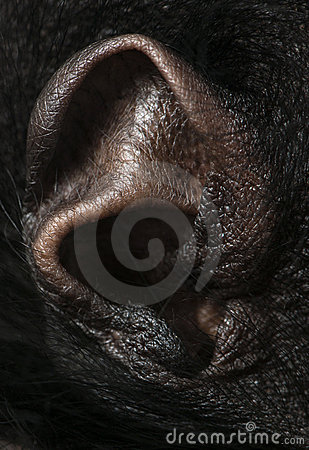 Close-up of Red-faced Spider Monkey ear