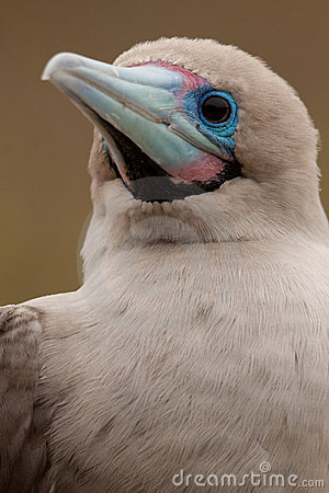 Close-up of Red-footed Booby, Galapagos Islands