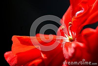 Close-up of a red geranium.