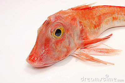 Close up of red gurnard