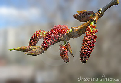 Close-up of red poplar catkins