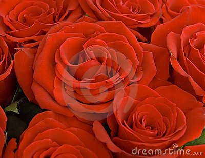 Close up of a red roses