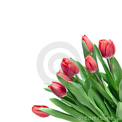 Free Close-up Red Tulips Stock Photos - 13446543