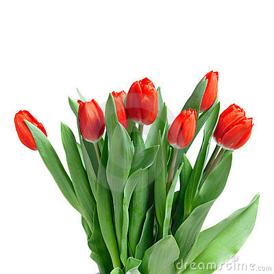 Free Close-up Red Tulips Isolated Royalty Free Stock Photography - 13767077