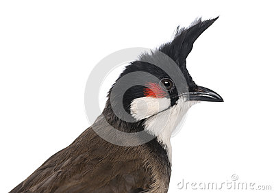 Close-up of a Red-whiskered Bulbul - Pycnonotus jocosus