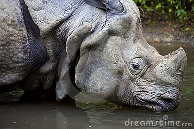 Close up of rhino drinking, Rhinoceros unicornis