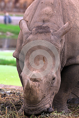 Close up  Rhinoceros