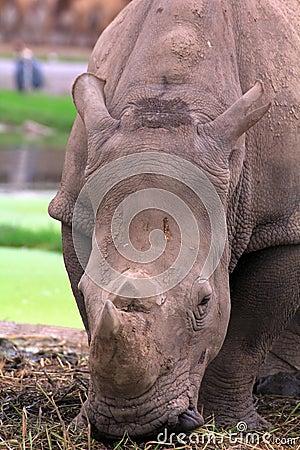 Close up  Rhinoceros